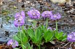 Primula denticulata